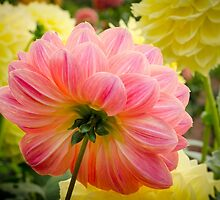 Peach Dahlia from the back by Carolyn Eaton
