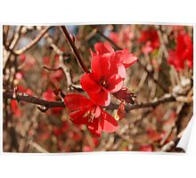 Flowering Quince Poster