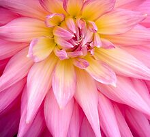 Pink, Spiked Dahlia Flower by Carolyn Eaton