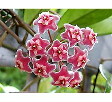 Hoya Pink Silver Photographic Print