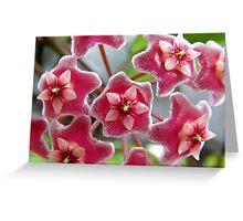 Hoya pubicalyx - Pink Silver Greeting Card
