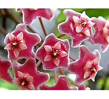 Hoya pubicalyx - Pink Silver Photographic Print