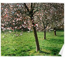 Cherry blossom on trees Poster