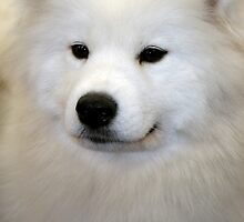 samoyed by peteroxcliffe