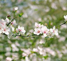 Cherry Blossom by Carolyn Eaton
