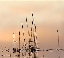 Rushes at sunset by SWEEPER