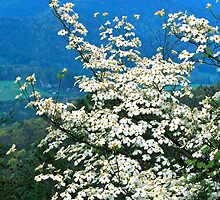 DOGWOOD, FOOTHILLS PARKWAY by Chuck Wickham
