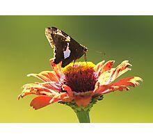 Moth on Gerber Daisy Photographic Print