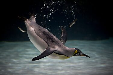 little diver by Lisa  Kenny