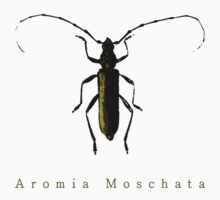 Aromia Moschata by Lenoirrr