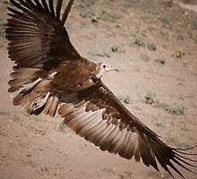 Hooded Vulture by PaoloSlaviero