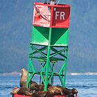 Sea lions on red buoy by erbephoto