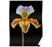 Lady Slipper Orchid - Study IV Poster