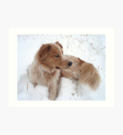 Australian Shepherd resting in the snow Art Print