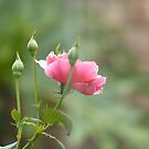 Rose by Betty Smith_Voce