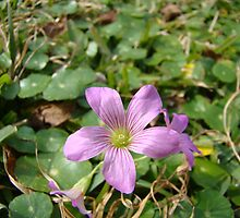 Wood Sorrel by ClintDMc