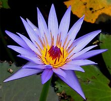 Lilac Waterlilly with yellow centre by Marilyn Baldey