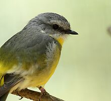 Eastern Yellow Robin by margotk