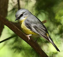 Eastern Yellow Robin by margotk