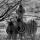 Zebra's - Etosha by Courtney Goddard