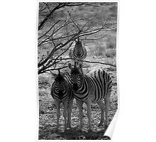 Zebra's - Etosha Poster