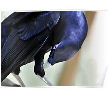 Male Satin Bower Bird II Poster