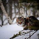 Bobcat by lumiwa