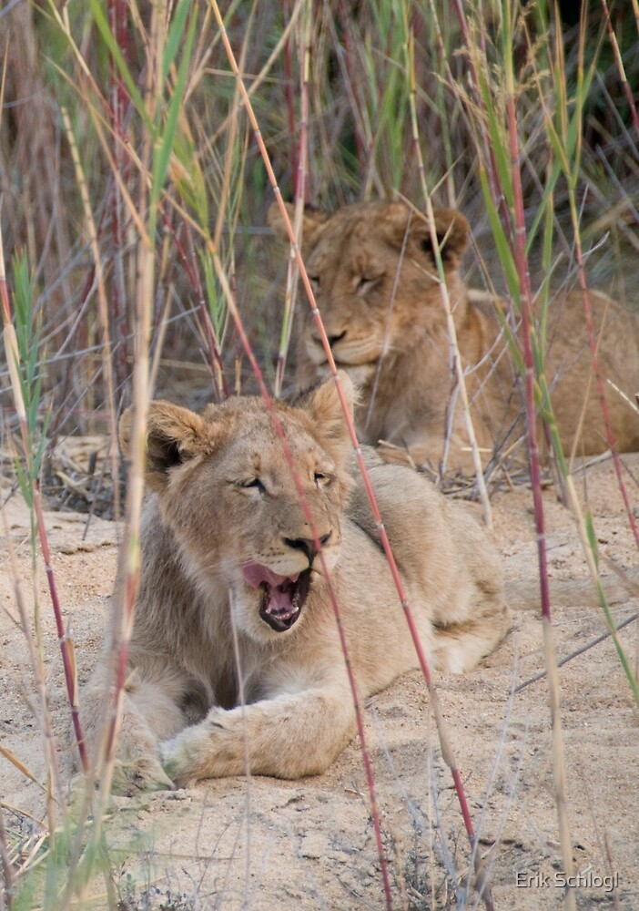 Young male lions resting in a riverbed by Erik Schlogl