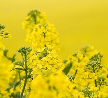 Rapeseed. by bluefern