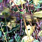 Dragonfly  by Johnny Furlotte