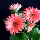 Gerbera Daisy Flowers by Johnny Furlotte