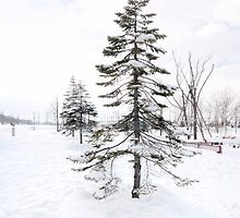 Snow covered pine by Aneurysm