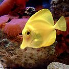 Yellow Tang Surgeon fish by Johnny Furlotte