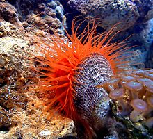 Flame Scallop by Johnny Furlotte