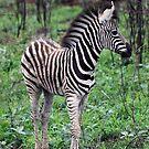 Zebra in Kruger National Park by Philip James Filia