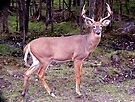 Whitetail Deer by Johnny Furlotte