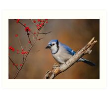 Blue Jay and berries.. Art Print