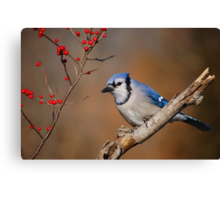 Blue Jay and berries.. Canvas Print