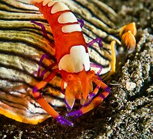 Emperor Shrimp on Nudibranch by Dan Sweeney