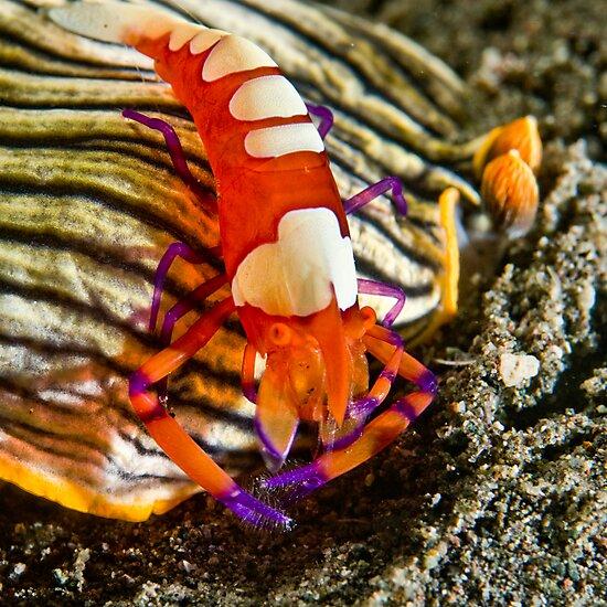 Emperor Shrimp on Nudibranch by Dan Sweeney
