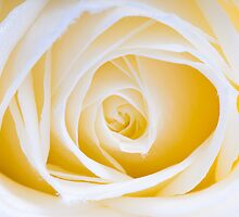 white rose by peterwey