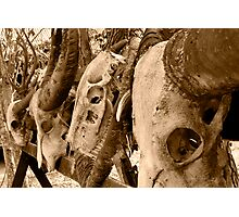 Komodo Dragon Kills Photographic Print