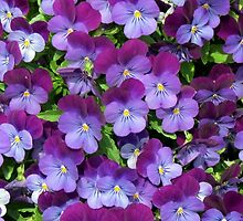 Miniature pansies by Elizabeth Kendall