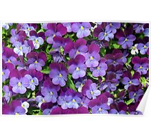 Miniature pansies Poster