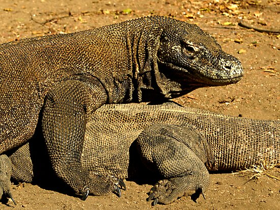 Komodo Dragons by Dan Sweeney