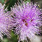 Melaleuca sp. by Julie Sherlock