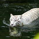 Swimming White Tiger by Aneurysm