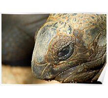 Closeup of a Giant Tortoise Poster
