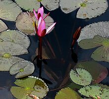 Two pink buds in dark water by Marilyn Baldey