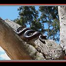 Red Bellied Black Snake by Keith Richardson